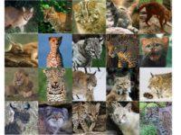 Stichting SPOTS en WNF starten ludieke actie voor grote katten