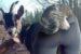 Downward facing dog tussen de geitjes
